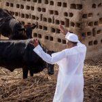 Why Did Miyetti Allah Cattle Breeders' Association of Nigeria Endorsed Buhari?